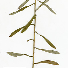 Leaves: Pseudognaphalium micradenium. ~ By CONN Herbarium. ~ Copyright © 2018 CONN Herbarium. ~ Requests for image use not currently accepted by copyright holder ~ U. of Connecticut Herbarium - bgbaseserver.eeb.uconn.edu/