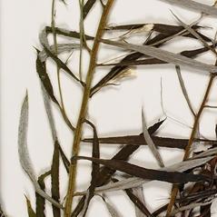 Stems: Pseudognaphalium micradenium. ~ By Troy University Herbarium. ~ Copyright © 2018. ~ Brian Keener, bkeener[at]uwa.edu ~ Troy U. Herbarium