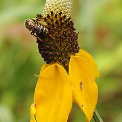Flowers: Ratibida columnifera. ~ By David G. Smith. ~ Copyright © 2019. ~ dgsmith3[at]gmail.com ~ Delaware Wildflowers - delawarewildflowers.org/