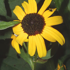 Flowers: Rudbeckia fulgida. ~ By Steven Baskauf. ~ Copyright © 2019 CC-BY-NC-SA. ~  ~ Bioimages - www.cas.vanderbilt.edu/bioimages/frame.htm