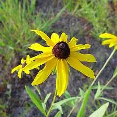 Flowers: Rudbeckia hirta. ~ By Arthur Haines. ~ Copyright © 2020. ~ arthurhaines[at]wildblue.net