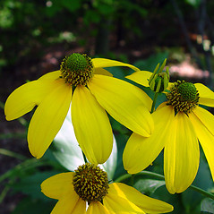 Flowers: Rudbeckia laciniata. ~ By Arthur Haines. ~ Copyright © 2018. ~ arthurhaines[at]wildblue.net