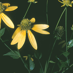 Flowers: Rudbeckia laciniata. ~ By Frank Bramley. ~ Copyright © 2019 New England Wild Flower Society. ~ Image Request, images[at]newenglandwild.org