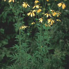 Plant form: Rudbeckia laciniata. ~ By Frank Bramley. ~ Copyright © 2019 New England Wild Flower Society. ~ Image Request, images[at]newenglandwild.org