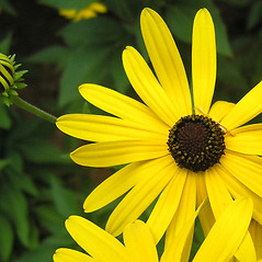 Flowers: Rudbeckia subtomentosa. ~ By Bruce Patterson. ~ Copyright © 2019 Bruce Patterson. ~ foxpatterson[at]comcast.net