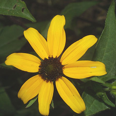 Flowers: Rudbeckia triloba. ~ By Steven Baskauf. ~ Copyright © 2019 CC-BY-NC-SA. ~  ~ Bioimages - www.cas.vanderbilt.edu/bioimages/frame.htm
