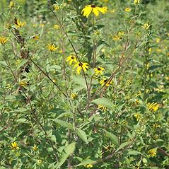 Plant form: Rudbeckia triloba. ~ By Keir Morse. ~ Copyright © 2019 Keir Morse. ~ www.keiriosity.com ~ www.keiriosity.com