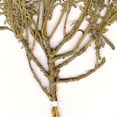 Stems: Santolina chamaecyparissus. ~ By CONN Herbarium. ~ Copyright © 2019 CONN Herbarium. ~ Requests for image use not currently accepted by copyright holder ~ U. of Connecticut Herbarium - bgbaseserver.eeb.uconn.edu/