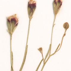 Flowers: Schkuhria pinnata. ~ By Amherst College Herbarium. ~ Copyright © 2018 Amherst College Herbarium. ~ Amherst College Herbarium