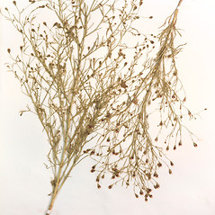 Plant form: Schkuhria pinnata. ~ By Amherst College Herbarium. ~ Copyright © 2018 Amherst College Herbarium. ~ Amherst College Herbarium