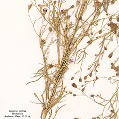 Leaves: Schkuhria pinnata. ~ By Amherst College Herbarium. ~ Copyright © 2018 Amherst College Herbarium. ~ Amherst College Herbarium