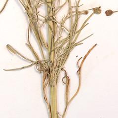 Stems: Schkuhria pinnata. ~ By Amherst College Herbarium. ~ Copyright © 2017 Amherst College Herbarium. ~ Amherst College Herbarium