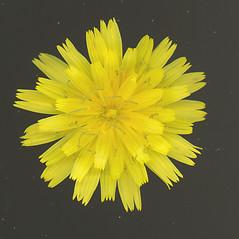 Flowers: Scorzoneroides autumnalis. ~ By Glen Mittelhauser. ~ Copyright © 2018 Glen Mittelhauser. ~ www.mainenaturalhistory.org