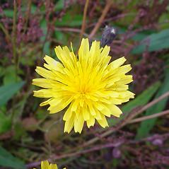 Flowers: Scorzoneroides autumnalis. ~ By Glen Mittelhauser. ~ Copyright © 2019 Glen Mittelhauser. ~ www.mainenaturalhistory.org
