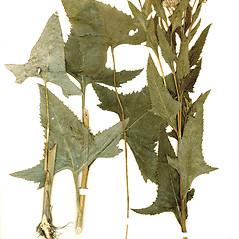Plant form: Senecio suaveolens. ~ By CONN Herbarium. ~ Copyright © 2018 CONN Herbarium. ~ Requests for image use not currently accepted by copyright holder ~ U. of Connecticut Herbarium - bgbaseserver.eeb.uconn.edu/