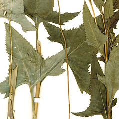 Leaves: Senecio suaveolens. ~ By CONN Herbarium. ~ Copyright © 2018 CONN Herbarium. ~ Requests for image use not currently accepted by copyright holder ~ U. of Connecticut Herbarium - bgbaseserver.eeb.uconn.edu/