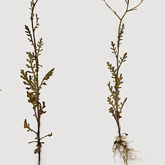 Plant form: Senecio sylvaticus. ~ By CONN Herbarium. ~ Copyright © 2019 CONN Herbarium. ~ Requests for image use not currently accepted by copyright holder ~ U. of Connecticut Herbarium - bgbaseserver.eeb.uconn.edu/
