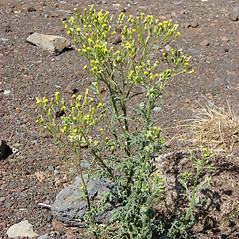 Plant form: Senecio sylvaticus. ~ By Kim Starr. ~ Copyright © 2019 CC BY 3.0. ~ starrimages[at]hear.org ~ Plants of Hawaii - www.hear.org/starr/images/?o=plants