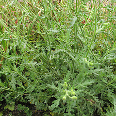 Plant form: Senecio viscosus. ~ By Marilee Lovit. ~ Copyright © 2018 Marilee Lovit. ~ lovitm[at]gmail.com