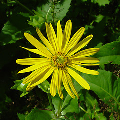 Flowers: Silphium perfoliatum. ~ By Arthur Haines. ~ Copyright © 2018. ~ arthurhaines[at]wildblue.net