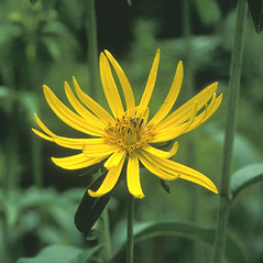 Flowers: Silphium perfoliatum. ~ By David Heppert. ~ Copyright © 2017 New England Wild Flower Society. ~ Image Request, images[at]newenglandwild.org