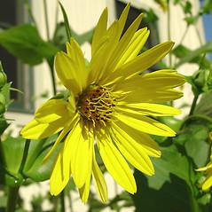 Flowers: Silphium perfoliatum. ~ By Glen Mittelhauser. ~ Copyright © 2019 Glen Mittelhauser. ~ www.mainenaturalhistory.org