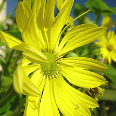 Flowers: Silphium perfoliatum. ~ By Glen Mittelhauser. ~ Copyright © 2017 Glen Mittelhauser. ~ www.mainenaturalhistory.org