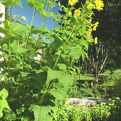 Plant form: Silphium perfoliatum. ~ By Glen Mittelhauser. ~ Copyright © 2020 Glen Mittelhauser. ~ www.mainenaturalhistory.org