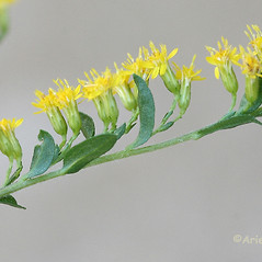 Flowers: Solidago aestivalis. ~ By Arieh Tal. ~ Copyright © 2018 Arieh Tal. ~ http://botphoto.com/ ~ Arieh Tal - botphoto.com