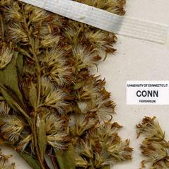 Fruits: Solidago aestivalis. ~ By CONN Herbarium. ~ Copyright © 2017 CONN Herbarium. ~ Requests for image use not currently accepted by copyright holder ~ U. of Connecticut Herbarium - bgbaseserver.eeb.uconn.edu/
