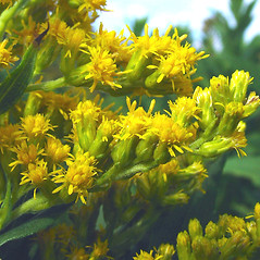 Flowers: Solidago altissima. ~ By Glen Mittelhauser. ~ Copyright © 2020 Glen Mittelhauser. ~ www.mainenaturalhistory.org