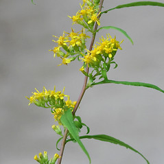Flowers: Solidago caesia. ~ By Arieh Tal. ~ Copyright © 2017 Arieh Tal. ~ http://botphoto.com/ ~ Arieh Tal - botphoto.com