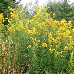Plant form: Solidago canadensis. ~ By Arieh Tal. ~ Copyright © 2018 Arieh Tal. ~ http://botphoto.com/ ~ Arieh Tal - botphoto.com