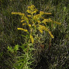 Plant form: Solidago canadensis. ~ By Donald Cameron. ~ Copyright © 2018 Donald Cameron. ~ No permission needed for non-commercial uses, with proper credit