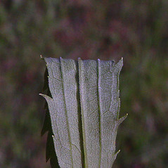 Leaves: Solidago canadensis. ~ By Arthur Haines. ~ Copyright © 2020. ~ arthurhaines[at]wildblue.net