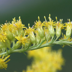 Flowers: Solidago canadensis. ~ By Arieh Tal. ~ Copyright © 2019 Arieh Tal. ~ http://botphoto.com/ ~ Arieh Tal - botphoto.com