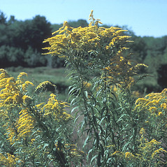 Plant form: Solidago canadensis. ~ By Frank Bramley. ~ Copyright © 2018 New England Wild Flower Society. ~ Image Request, images[at]newenglandwild.org