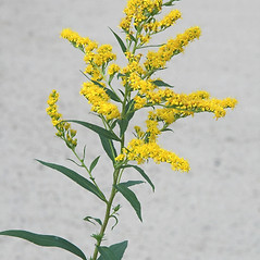 Flowers: Solidago gigantea. ~ By Arieh Tal. ~ Copyright © 2019 Arieh Tal. ~ http://botphoto.com/ ~ Arieh Tal - botphoto.com