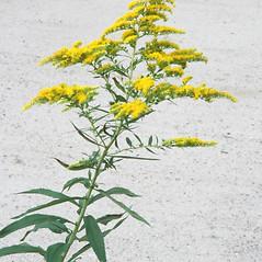 Plant form: Solidago gigantea. ~ By Arieh Tal. ~ Copyright © 2018 Arieh Tal. ~ http://botphoto.com/ ~ Arieh Tal - botphoto.com