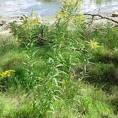 Plant form: Solidago gigantea. ~ By Glen Mittelhauser. ~ Copyright © 2018 Glen Mittelhauser. ~ www.mainenaturalhistory.org