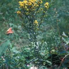 Plant form: Solidago hispida. ~ By Lawrence Newcomb. ~ Copyright © 2018 New England Wild Flower Society. ~ Image Request, images[at]newenglandwild.org