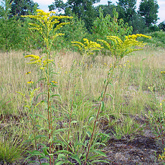 Plant form: Solidago juncea. ~ By Arthur Haines. ~ Copyright © 2019. ~ arthurhaines[at]wildblue.net