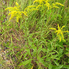 Plant form: Solidago juncea. ~ By Donna Kausen. ~ Copyright © 2018 Donna Kausen. ~ 33 Bears Den, Addison, ME 04606
