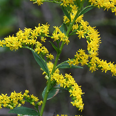 Flowers: Solidago latissimifolia. ~ By Arieh Tal. ~ Copyright © 2018 Arieh Tal. ~ http://botphoto.com/ ~ Arieh Tal - botphoto.com