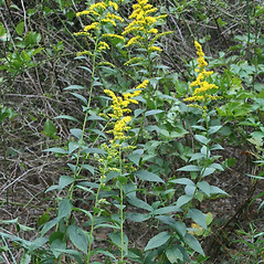 Plant form: Solidago latissimifolia. ~ By Arieh Tal. ~ Copyright © 2018 Arieh Tal. ~ http://botphoto.com/ ~ Arieh Tal - botphoto.com