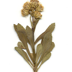 Plant form: Solidago leiocarpa. ~ By Arthur Haines. ~ Copyright © 2020. ~ arthurhaines[at]wildblue.net