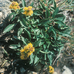 Plant form: Solidago leiocarpa. ~ By Mary Walker. ~ Copyright © 2020 New England Wild Flower Society. ~ Image Request, images[at]newenglandwild.org