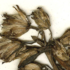 Fruits: Solidago macrophylla. ~ By CONN Herbarium. ~ Copyright © 2019 CONN Herbarium. ~ Requests for image use not currently accepted by copyright holder ~ U. of Connecticut Herbarium - bgbaseserver.eeb.uconn.edu/