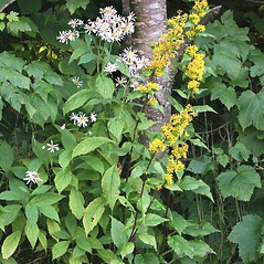 Plant form: Solidago macrophylla. ~ By Arieh Tal. ~ Copyright © 2018 Arieh Tal. ~ http://botphoto.com/ ~ Arieh Tal - botphoto.com