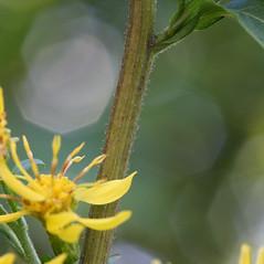 Stems: Solidago macrophylla. ~ By Arieh Tal. ~ Copyright © 2018 Arieh Tal. ~ http://botphoto.com/ ~ Arieh Tal - botphoto.com